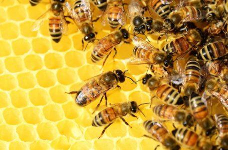 Klimatske promene utiču na pad broja pčela širom sveta