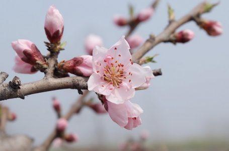 Mraz u aprilu obrao kajsije i breskve, šta će ostati za jesen